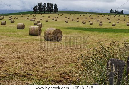 Round hay bales recently cut in Tasmania Australia