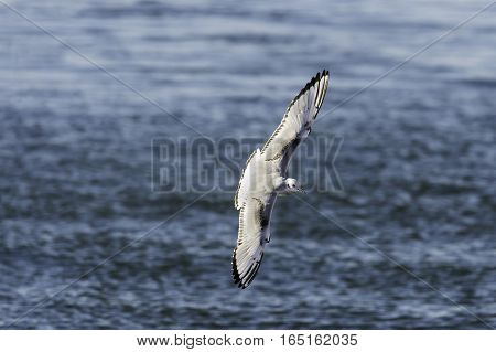 Bonaparte's Gull banking with wings nearly vertical