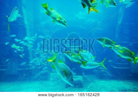 Underwater picture of yellow fin snapper fish swimming