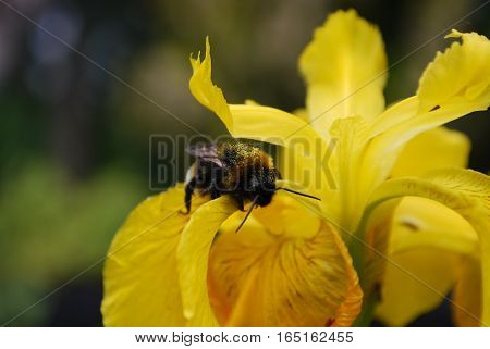 bumble bee covered in nectar on yellow iris