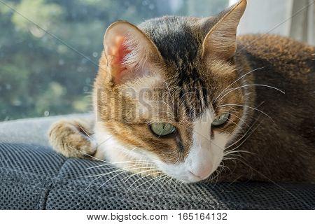 Close Up Shoot Of Cute Brown Cat