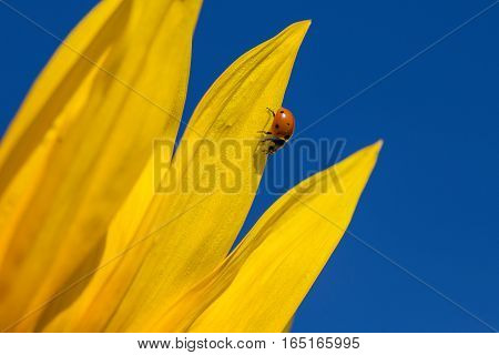Ladybug and yellow sunflower against a blue sky close up