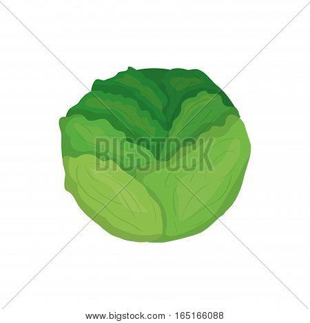 Fresh lettuce vegetable icon vector illustration graphic design