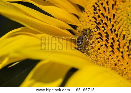 Bee trying to find the best pollen on the head of sunflower macro