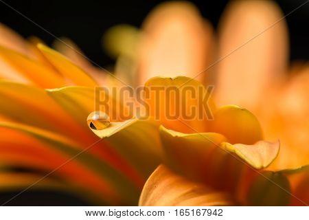 Macro of water drop on orange gerber on black background