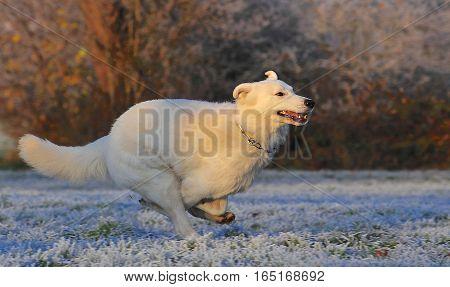Fast Running White Swiss Shepherd Dog In A Winter Landscape