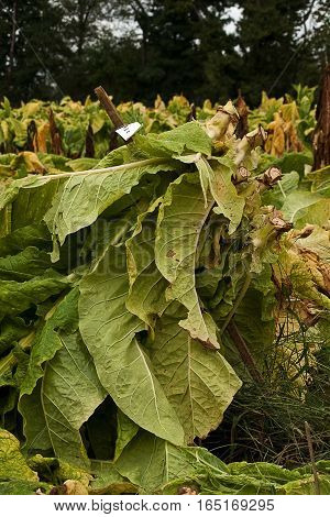 Tobacco plants in the test plot ready to be taken to the barn to cure.