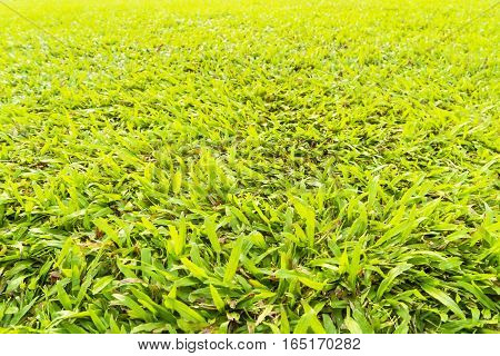 abstract green grass with sunlight filter - can use to display or montage on product