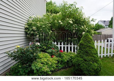 A flower garden, with roses, Japanese spiraea (Spiraea japonica), elderberry (Sambucus nigra) blossoms, and a dwarf Alberta spruce (Picea glauca 'Conica'), next to a house in Joliet, Illinois during June.