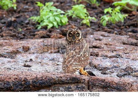 Short-eared Owl On Genovesa Island, Galapagos National Park, Ecuador