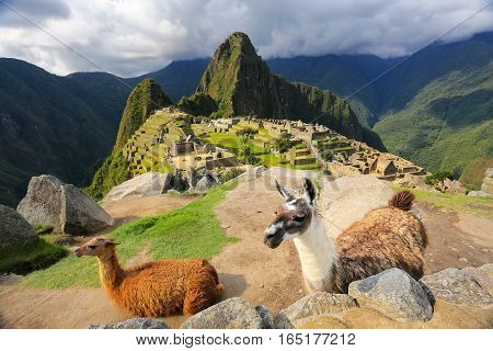 Llamas Standing At Machu Picchu Overlook In Peru