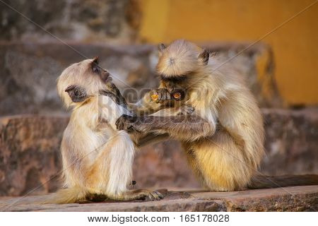 Young Gray Langurs Playing On The Stairs In Amber Fort, Jaipur, Rajasthan, India