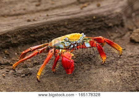 Sally lightfoot crab (Grapsus grapsus) on Santiago Island in Galapagos National Park Ecuador
