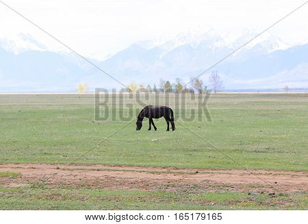 Black horse in a field on the mountain slope