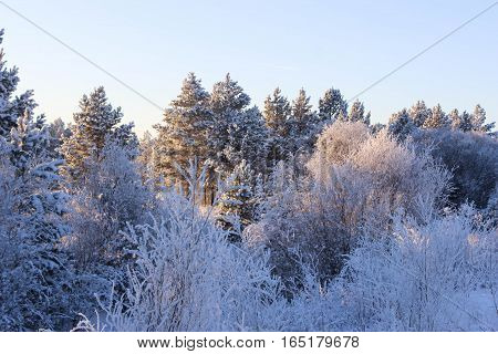 Evening beauty coniferous forest in the winter
