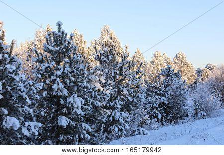 Fluffy fir-trees in beams setting the sun