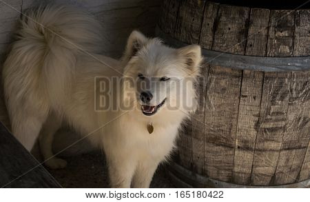 A windswept samoyed sheltering by a barrel