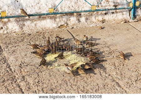 flock of sparrows eating millet on stone