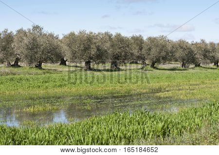 Olive grove in winter. Photo taken in Ciudad Real, Spain