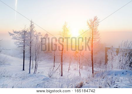 Birches in hoarfrost, morning, frosty dawn in the Arctic tundra. The sun rises over a small town.