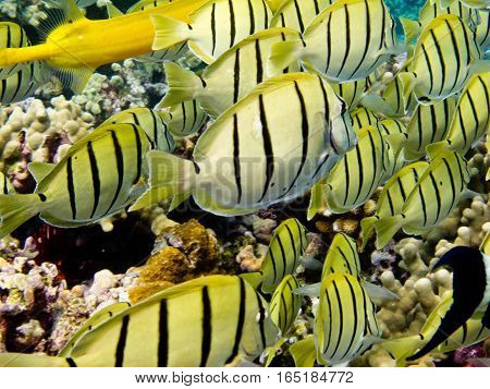 A school of Convict Tang fish graze the coral reef for food.