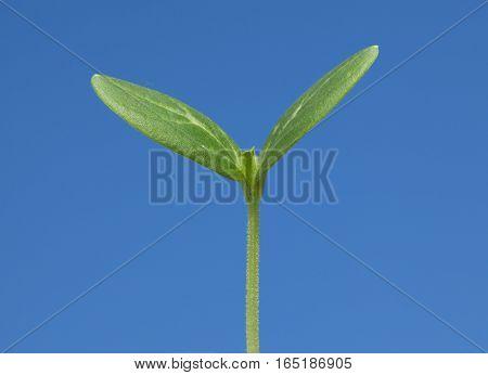 Vegetable Burgeon In Spring