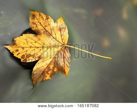 The Colorful Broken Leaf From Maple Tree On Basalt Stones In Blurred Water