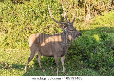Sri Lanka: deer in famous Horton Plains National Park
