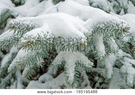 Spangled cold snow on a branch young spruce in city park