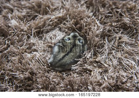 The little mouse sitting on the carpet gray hamster on a carpet