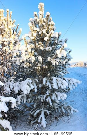 Snow-covered a fir-tree in a snowdrift at the road
