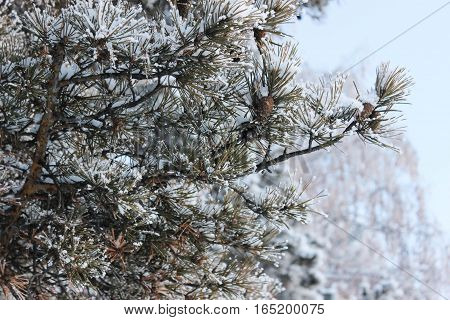 Beautiful needles of a pine in hoarfrost