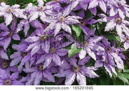 The flowers of clematis cultivars of Polish General Sikorski (lat. Clematis General Sikorski)