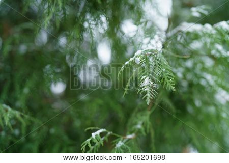 thuja tree in winter with snow closeup, shallow focus