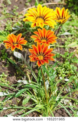 Gazania (lat. Gazania hybrida) or African Daisy in the flowerbed