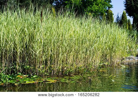 shore of the lake with reeds and water lilies in a park close-up