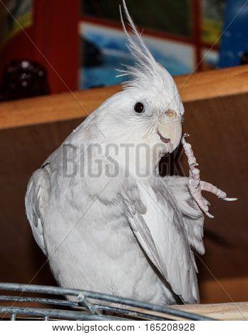 pet parrot Corelli preening its feathers bird