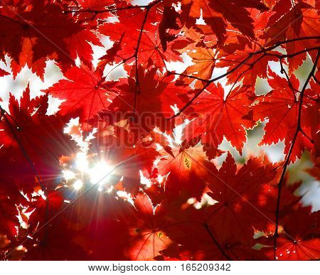 Autumnal ornament, red leaves of maple, autumn leaf