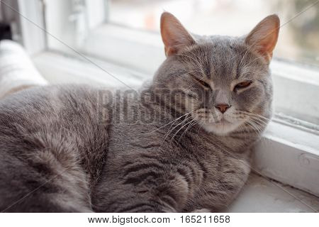 The fluffy handsome a cat sleeps on a window sill. Breeds Scottish Strait