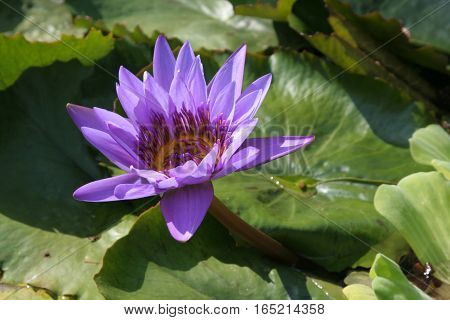 Blue Egyptian lotus flower (Nymphaea caerulea) in Park