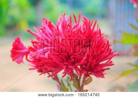 Cockscomb flower on tree in garden, in north thailand