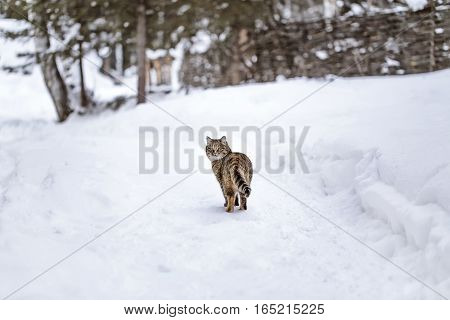 Cat out in the white winter snow