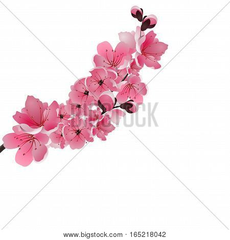 Japanese sakura. One lush branch dark pink cherry blossom close-up. Isolated on white background. Vector illustration