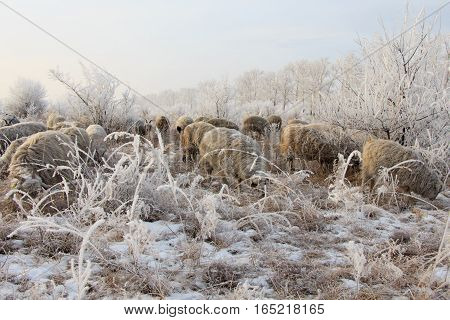 Flock of sheep in winter on the morning