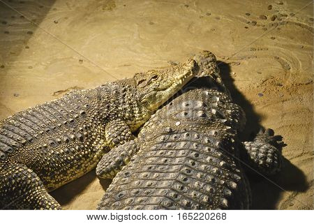Two Nile crocodiles (Crocodylus niloticus) lie together. In Zagreb Zoo, Croatia.