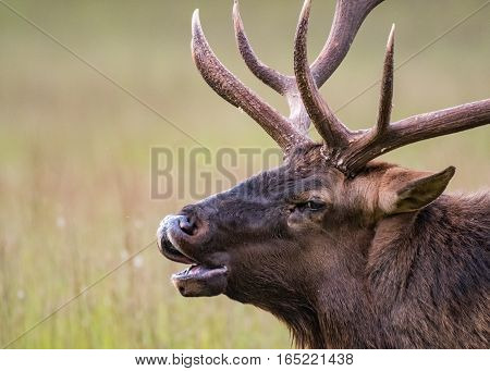 Bull Elk Bugles Close Up with blurry field in background