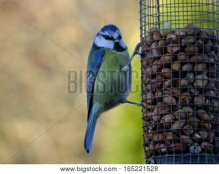 Blue tit clinging to a peanut feeder