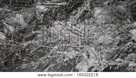 Branches of plant tree bush shrub cluster under the snow ice winter texture background. Frozen frost Fairy tale. Winter season cold concept.