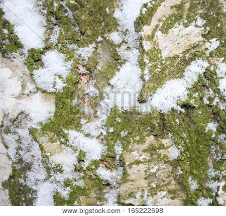 first snow and green lichen on the bark of a birch closeup, macro