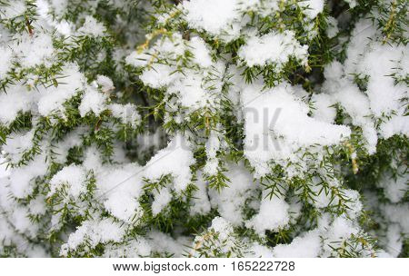 a few green fir tree branches in the white snow on the street cold winter day